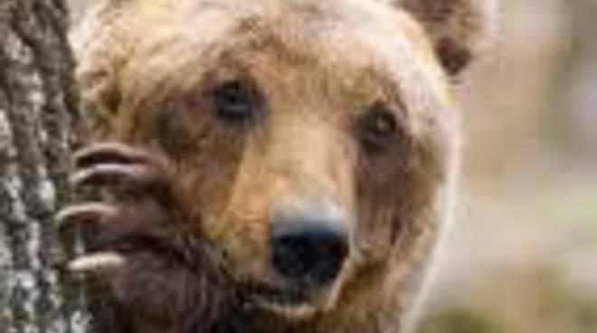 Muore l'orso marsicano recuperato sul Sirente