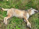 Lupa uccisa nel Parco Nazionale