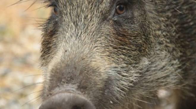 Forestale salva cinghiali, denunciato bracconiere