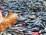 Pesca, Adriatico «impoverito»