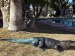 Alligatore perde coda, impiantata protesi