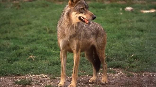 Assedio al Parco: ancora lupi nel mirino
