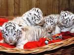 Buenos Aires, nati quattro cuccioli di tigre bianca