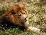 Dramma in Africa, amanti aggrediti da un leone