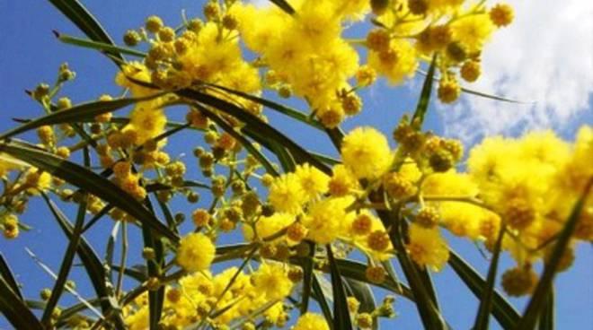 Federfiori, stop alle mimose 'abusive'