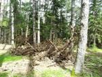 Cimitero di alberi alla pineta di Roio