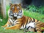 Gran Bretagna, uccisa da una tigre