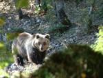 Buone notizie per l'Orso marsicano