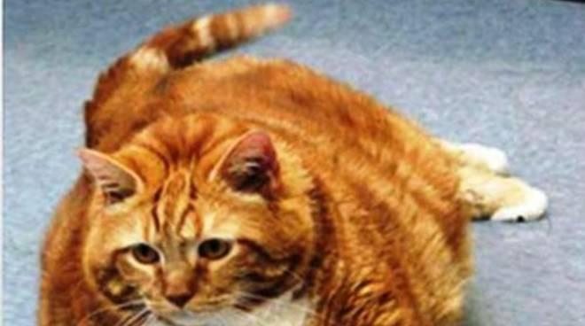 I gatti italiani sono ciccioni