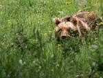 Incontro ravvicinato con orso, fuga su alberi