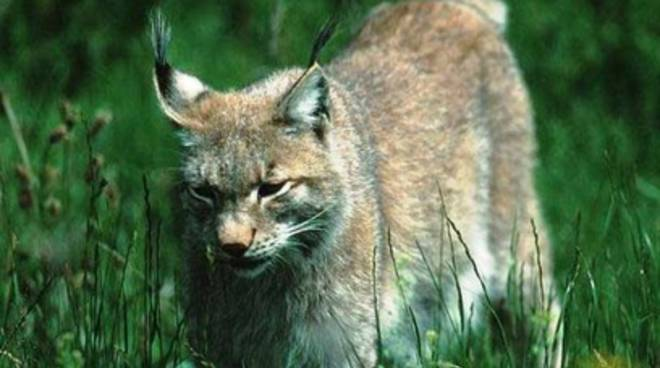 Lince in fuga nell'Aquilano