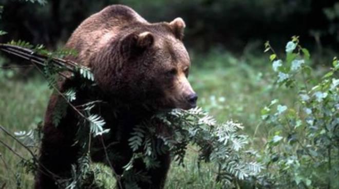 Orso ucciso, Lipu: «Carcere per i bracconieri»
