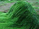 Spirulina, l'alga che sfamerà il mondo
