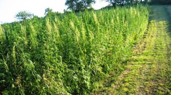 «Incentivare la coltivazione della canapa»