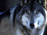 L'Aquila, lupo travolto e ucciso