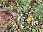 L'Aquila, pomodori al cimitero