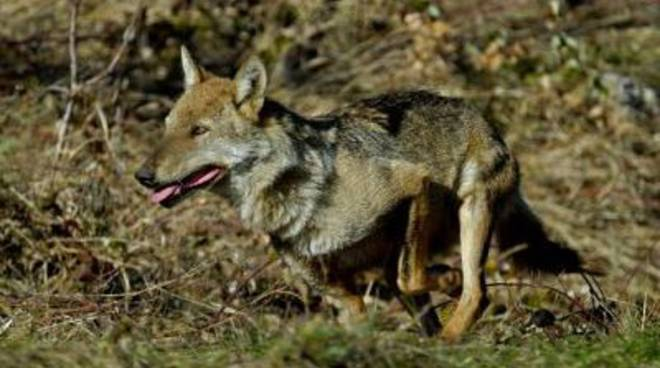 Ambiente, «Costituire rete parchi per tutela lupo»