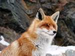 Bocconi avvelenati nel Parco, volpe e cani morti
