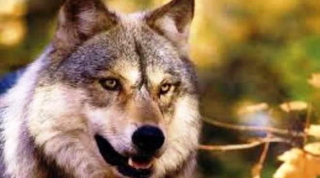 Guida al lupo