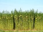 Legge canapa, «Obiettivo è filiera agro-industriale»