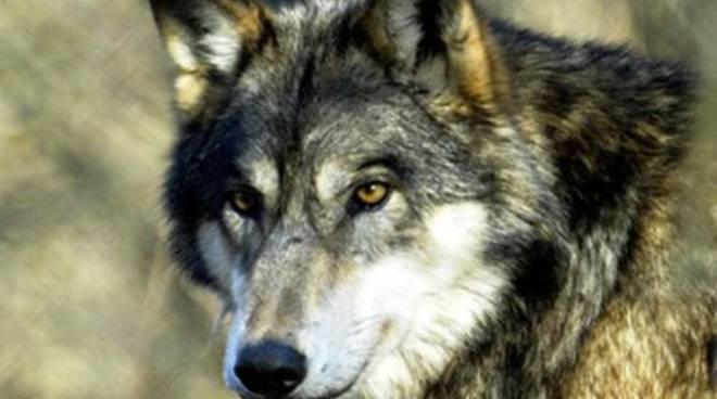 Caccia illegale: ucciso un lupo
