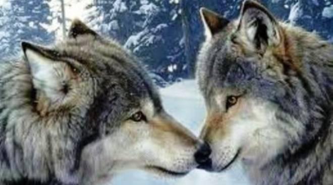 Il lupo: troppa controcultura