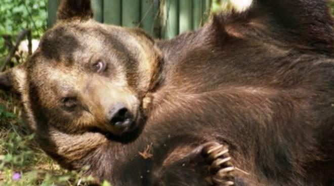 Ambiente, la strage degli orsi