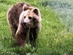La morte dell'orso forse ha un colpevole