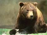 Orso marsicano: «Falliti i tentativi per salvarlo»