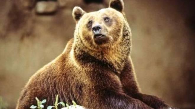 S.O.S. Orso marsicano: un simbolo in salvo