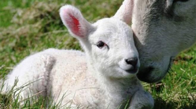 «A Pasqua risparmiate gli agnelli»