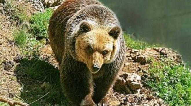 Scanno, avvistato orso bruno