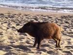 Soppresso il cinghiale avvistato in spiaggia