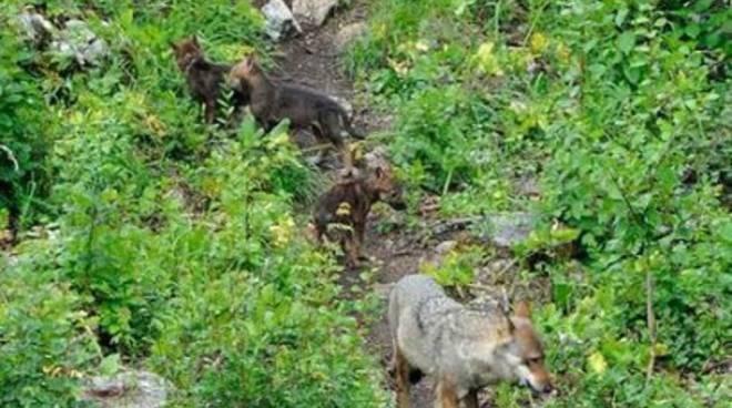 Cuccioli di lupo a Civitella Alfedena