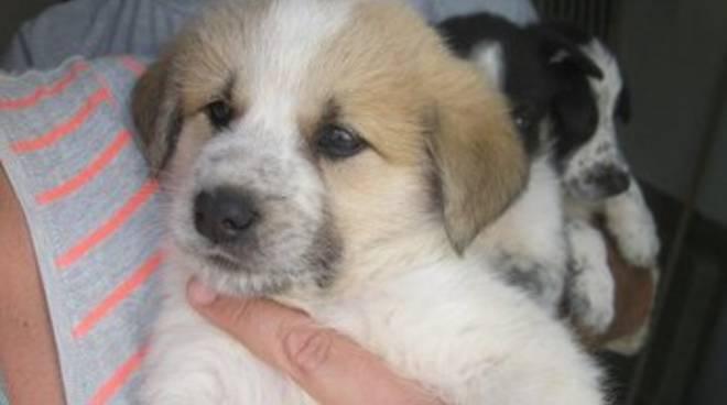 Quattro Cuccioli Di Cane Pastore In Cerca Di Casa Il Capoluogo