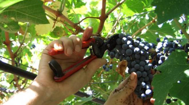 Vendemmia 2014: meno vino ma più buono