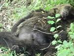Federcaccia e Arci caccia dalla parte dell'orso