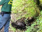 Incontro allevatore-orso, chiesto risarcimento