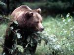 L'assassino dell'orso colpito da un altro orso
