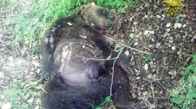 Orso morto, «Ucciso il simbolo della Riserva»