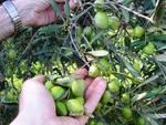 Ottobre è il mese delle olive