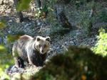 Parco Abruzzo, orsi marsicani in 'trasferta'