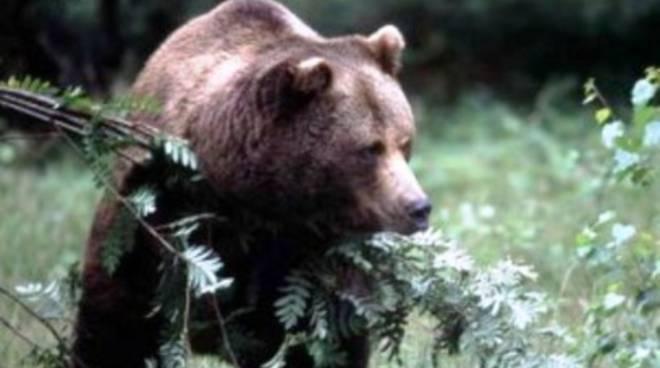 Pettorano sul Gizio, spunta un altro orso