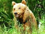 Pettorano sul Gizio, torna l'orso dei pollai