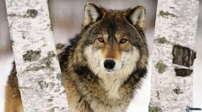 Catturato un lupo, Pescasseroli lo 'adotta'