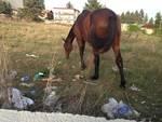 Cavalli abbandonati in centro ad Avezzano