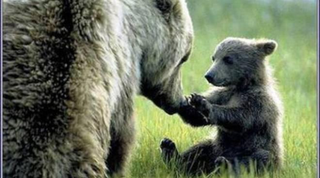 Al via la campagna 'Salviamo l'orso'