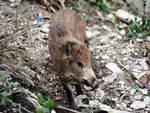 Fauna danneggia flora, la Regione corre ai ripari