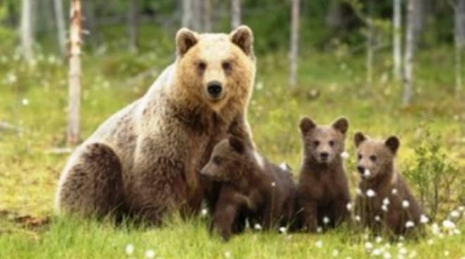 Parco della Majella, avvistata orsa con cuccioli al seguito