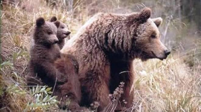 Parco, nati 11 cuccioli di orso